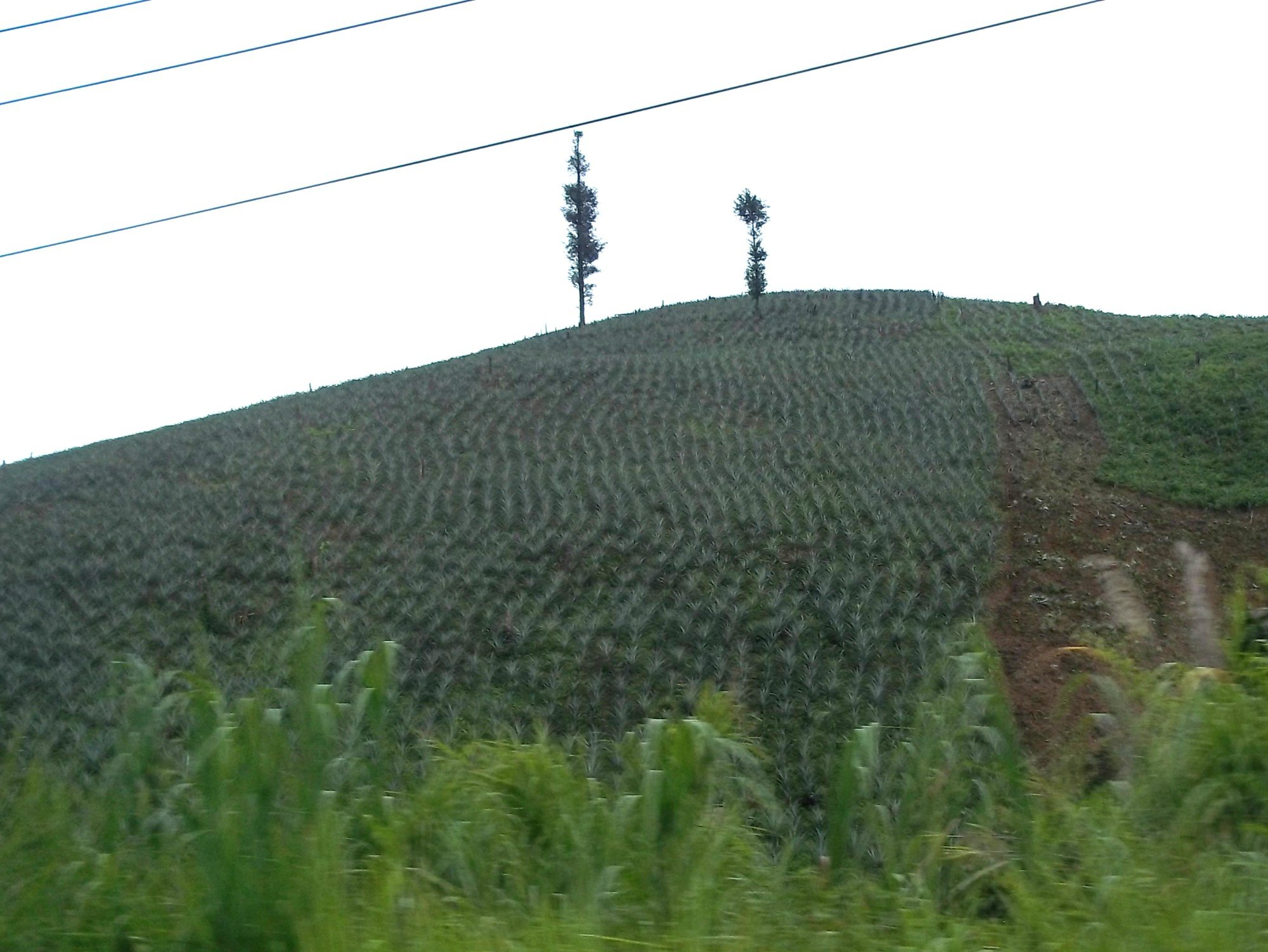 Fields of pineapples farmed by hill tribe communities